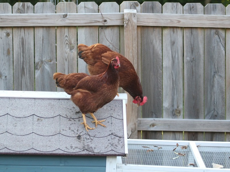 two chickens standing on the roof of a henhouse, in front of a grey wooden fence