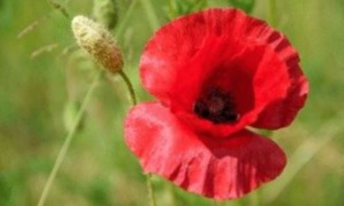 An image of a red poppy